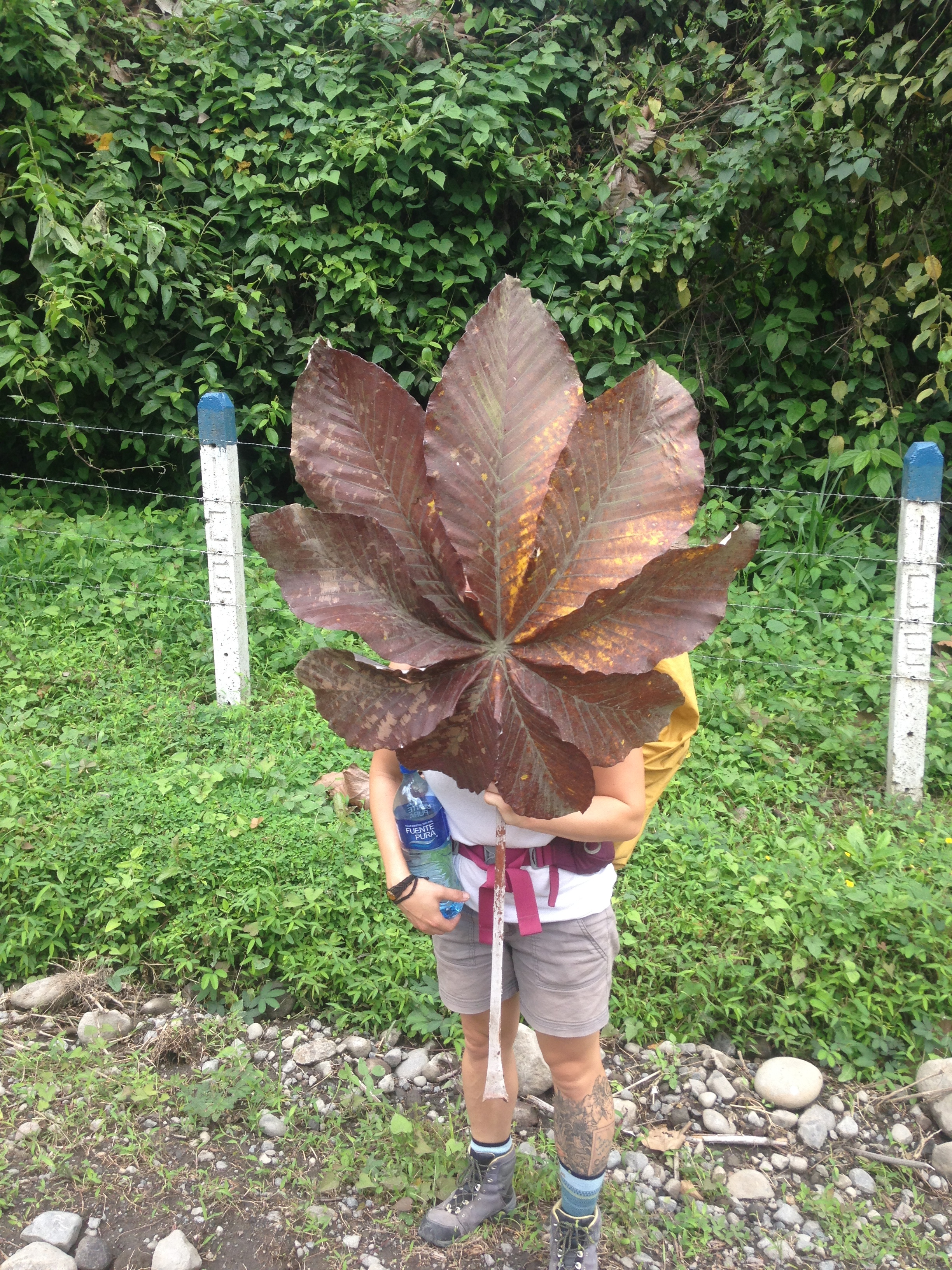 as we walked I found a giant leaf